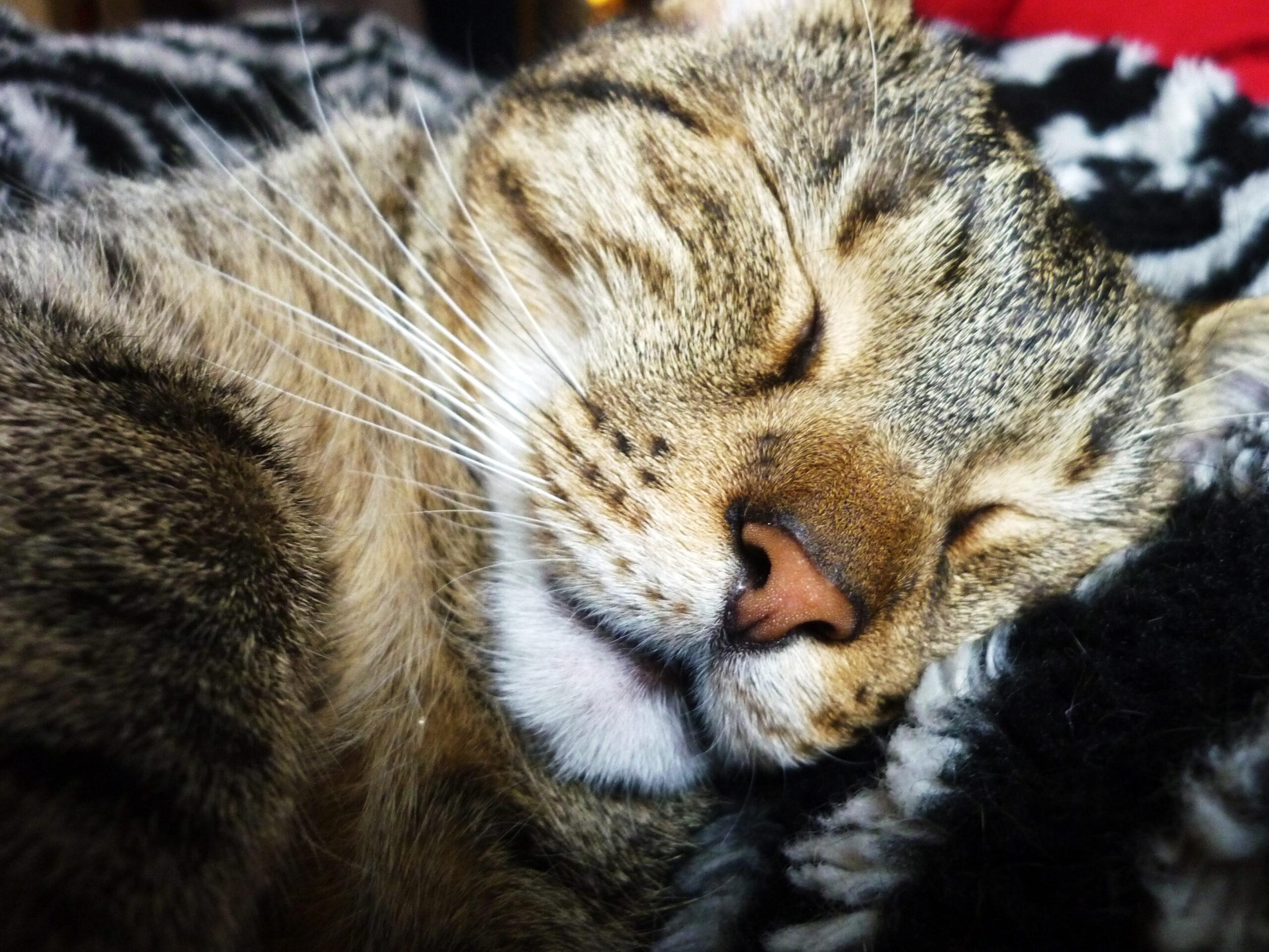 Katzen-Feiertage